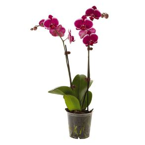 Phalaenopsis Orchid Promo Pot