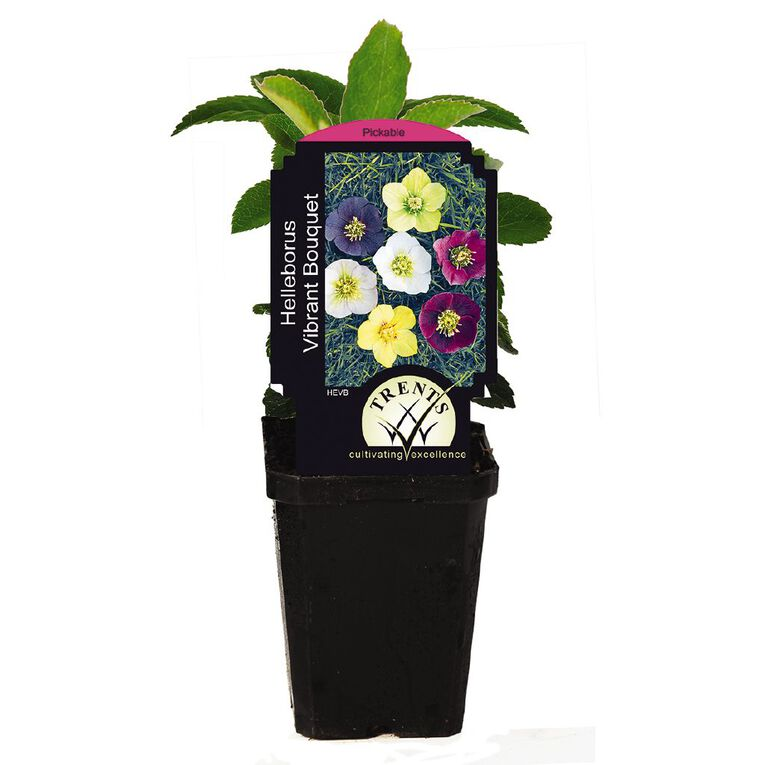 Hellebore (Winter Rose) 9cm Pot, , hi-res