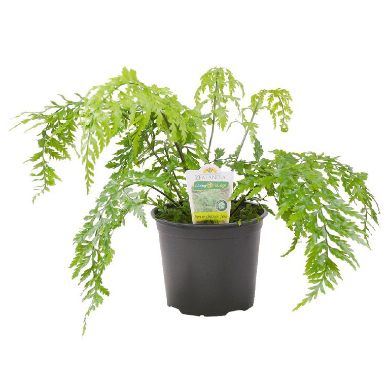 Indoor Fern Selection 15cm Pot, , hi-res