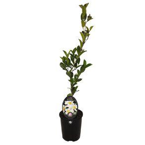 Camellia setsegekka 1.5 L Pot