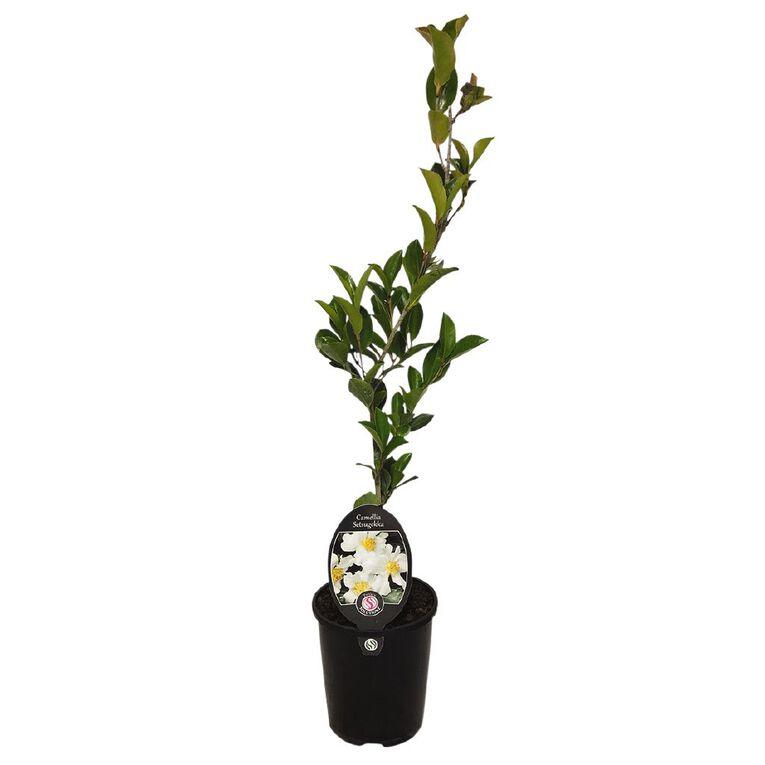 Camellia setsegekka 1.5 L Pot, , hi-res