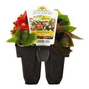 Growflora Begonia Mix