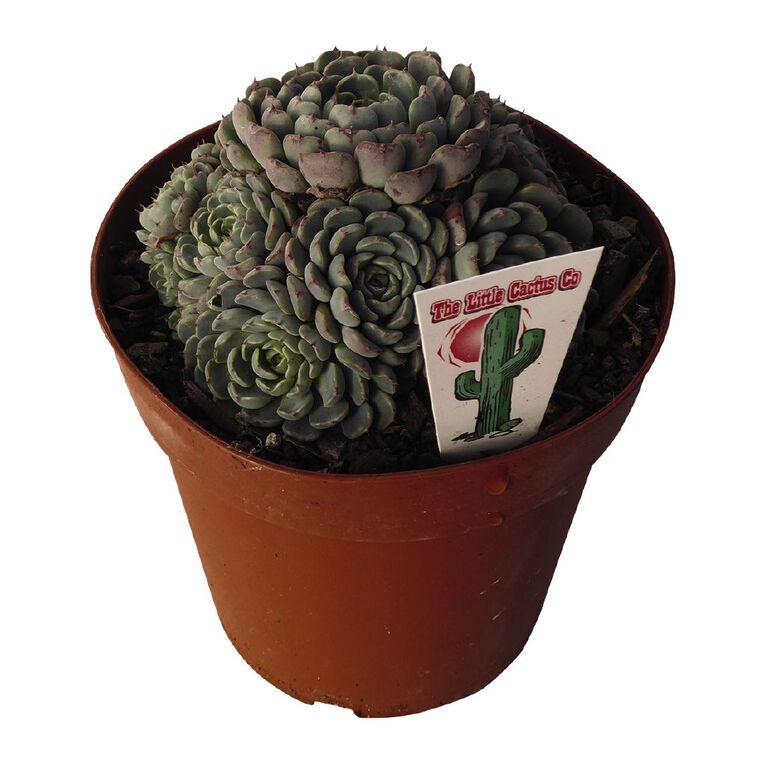 Succulents Assorted 12cm Pot SI, , hi-res