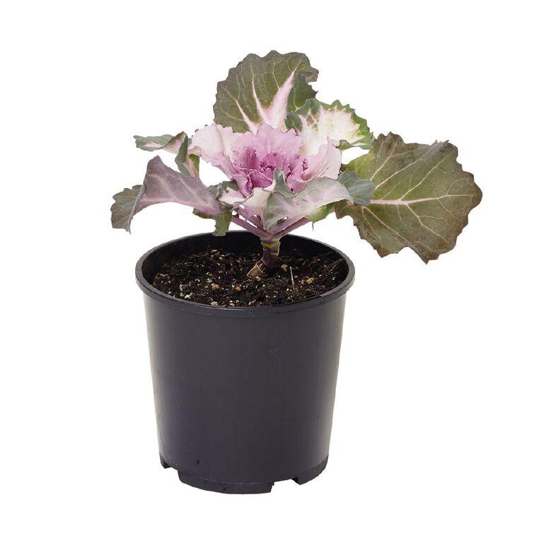 Ornamental Kale, , hi-res