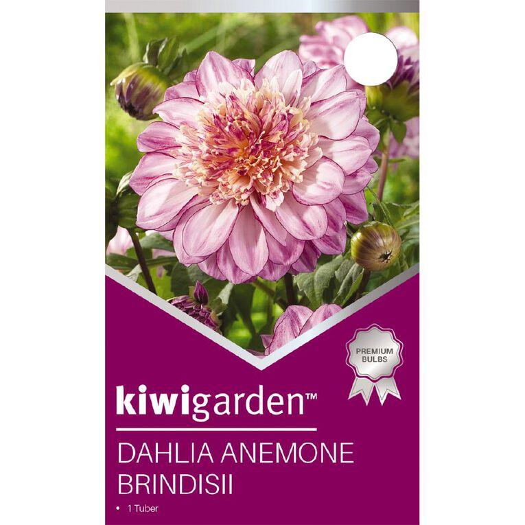 Kiwi Garden Dahlia Anemone 1 pack, , hi-res