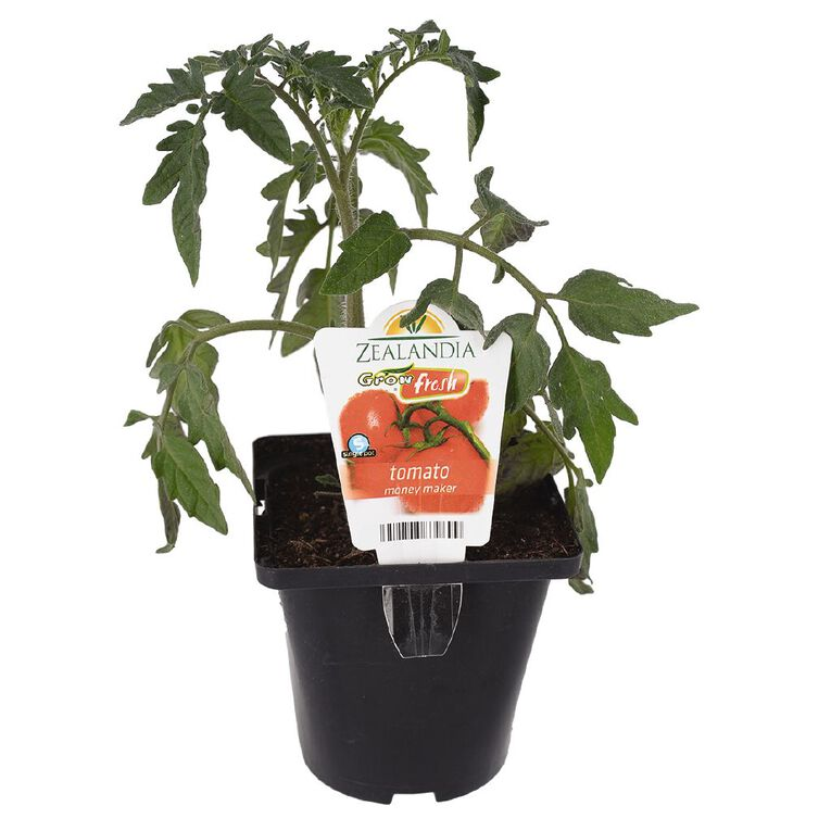 Growfresh Single Tomato Money Maker 10cm Pot, , hi-res