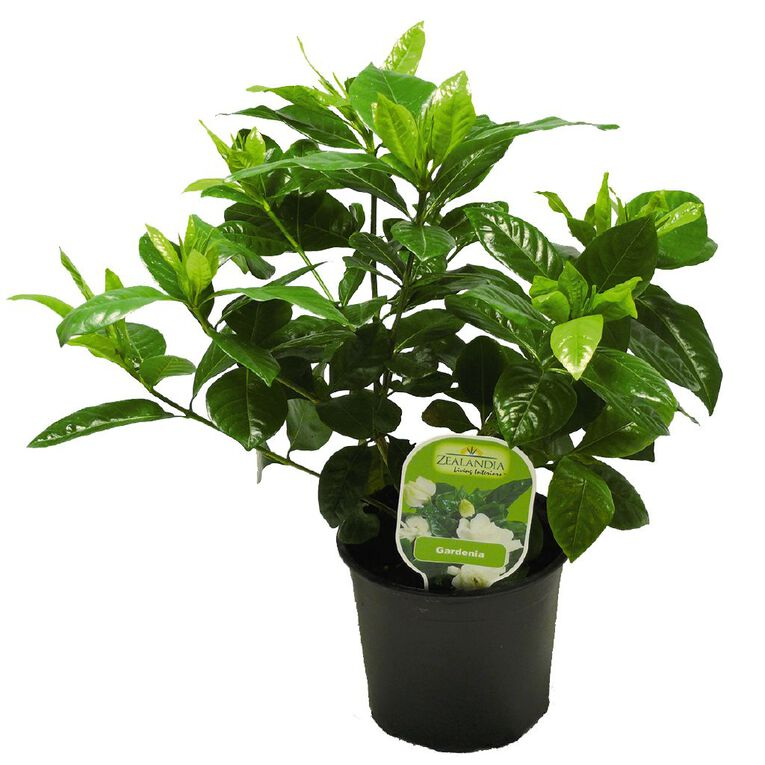 Gardenia 12cm Pot, , hi-res