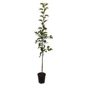 Apple Tree 4.7L Pot