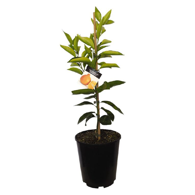 Citrus Tangelo 4.7L Pot, , hi-res