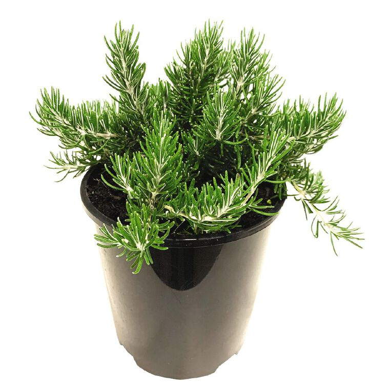 Rosemary Chefs Choice 1L, , hi-res image number null