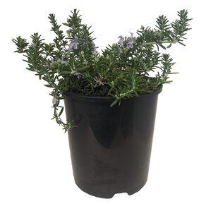 Rosemary Prostrata 1.9L Pot