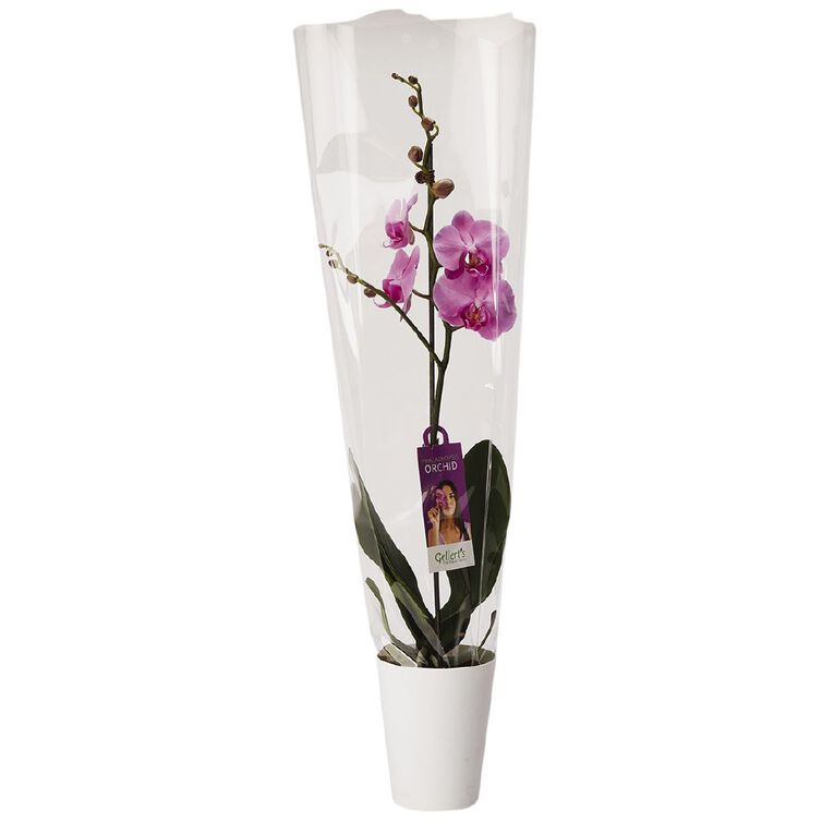 Phalaenopsis Orchid Gift 12cm, , hi-res