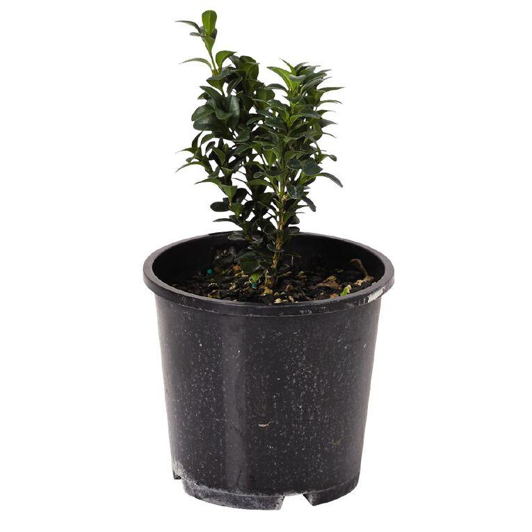 Buxus Sempervirens 1.5L Pot, , hi-res