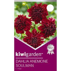 Kiwi Garden Dahlia Anemone 1 pack
