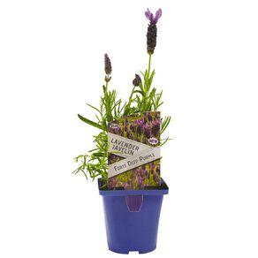 Lavender Javelin 10cm Pot