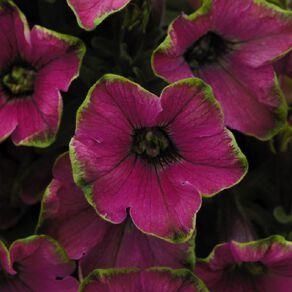 Petunia Be Limey 9cm Pot