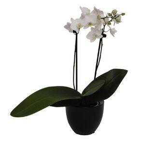 Phalaenopsis in Ceramic 9cm Pot