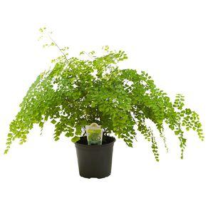 Indoor Fern Selection 15cm Pot