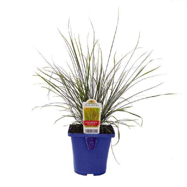 Landscape Grass Carex Anemathele Lessoniana 10cm Pot, , hi-res