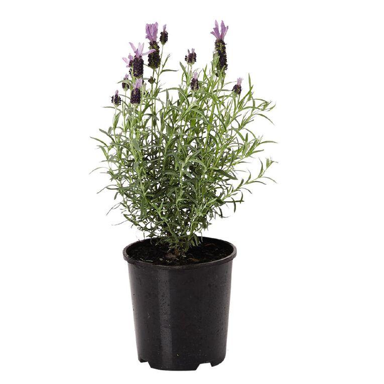 Lavender Bee Brillant 1.9L Pot, , hi-res