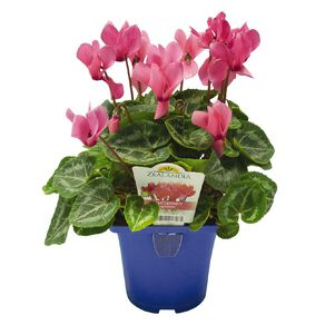 Elite Outdoor Cyclamen Mix 10cm Pot