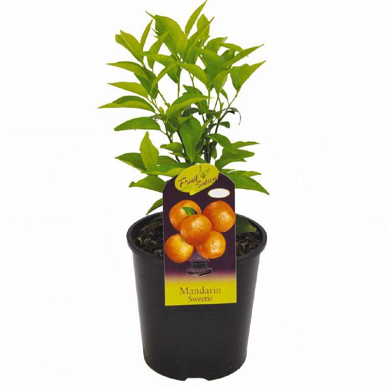Fruit Sation Citrus Mandarin 1.9L Pot, , hi-res