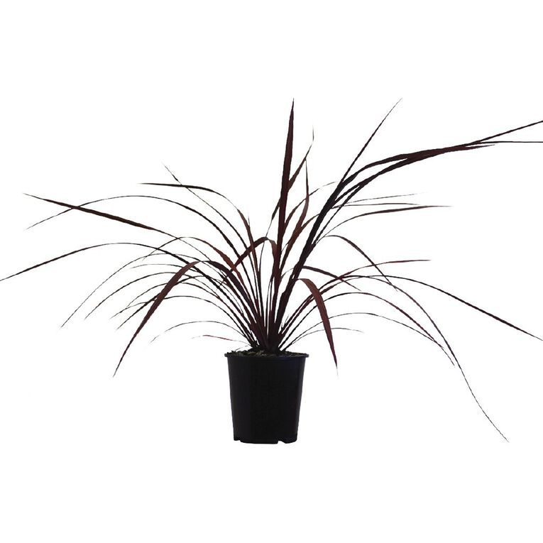 Cordyline Red Fountain 3.3L Pot, , hi-res