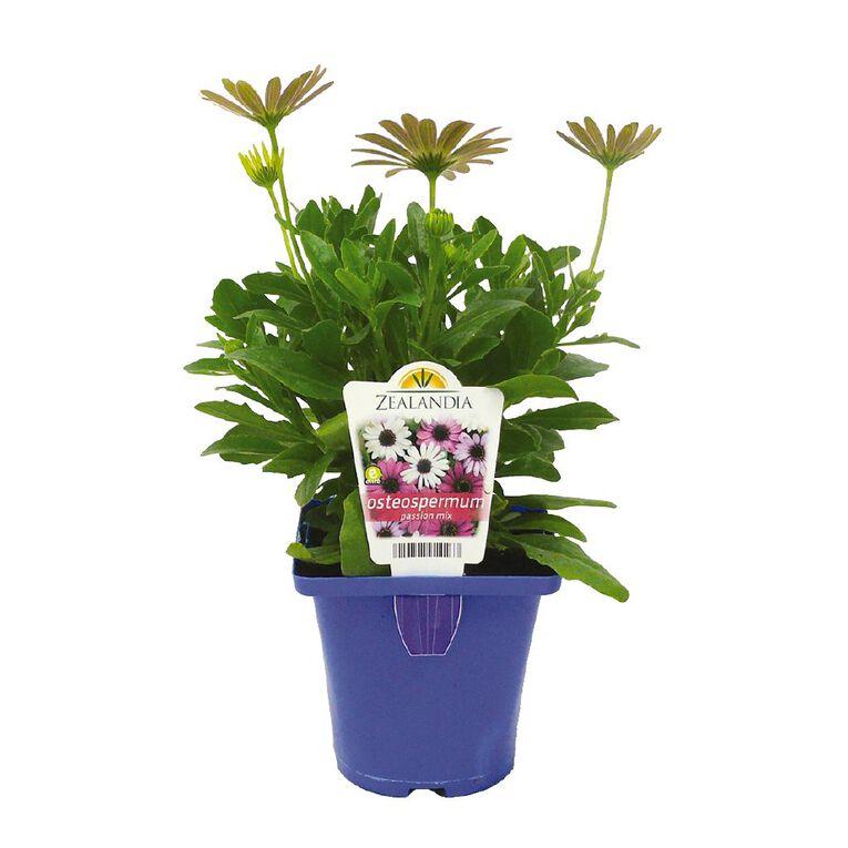 Elite Osteospermum Akila Grand Canyon Mix 10cm Pot, , hi-res