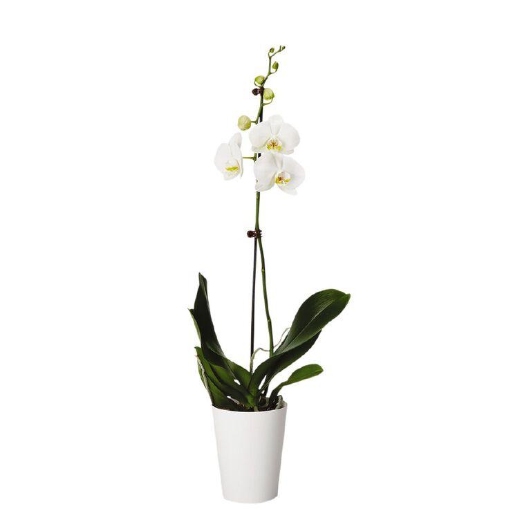 Living Phalaenopsis Orchid Gift 12cm, , hi-res