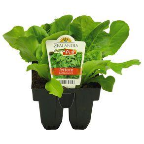 Growfresh Lettuce Buttercrunch