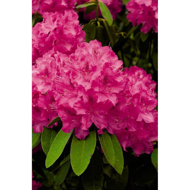 Rhododendron Assorted 2.5L Pot, , hi-res