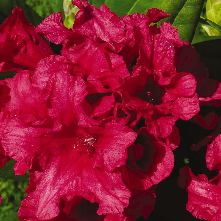 Rhododendron Assorted PB8, , hi-res