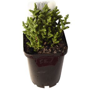 Succulents 9cm Pot