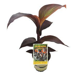 Canna Tropicanna 2.5L Pot