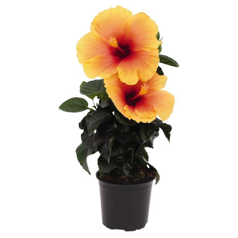 Hibiscus HibisQs 12cm Pot, , hi-res