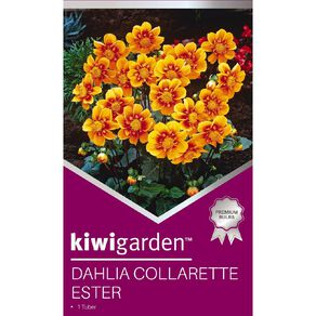 Kiwi Garden Gold Dahlia Bulb Collarette 1 Pack