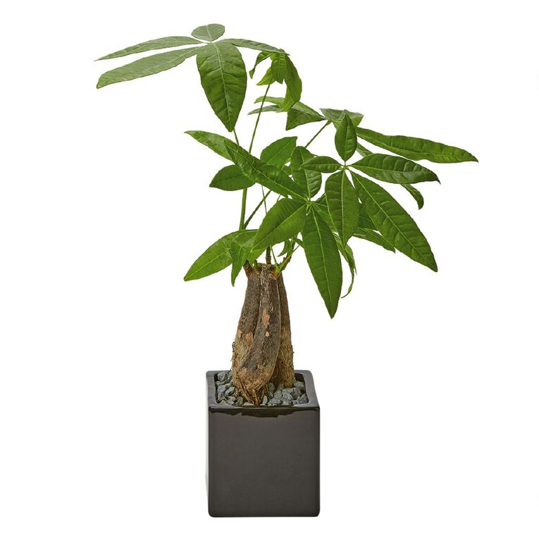 Indoor Pachira Aquatica in Ceramic Pot 9CM, , hi-res image number null
