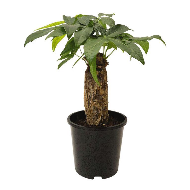 Indoor Pachira Aquatica 15cm Pot, , hi-res