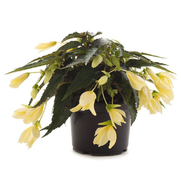 Begonia Waterfall EWN 13cm Pot, , hi-res
