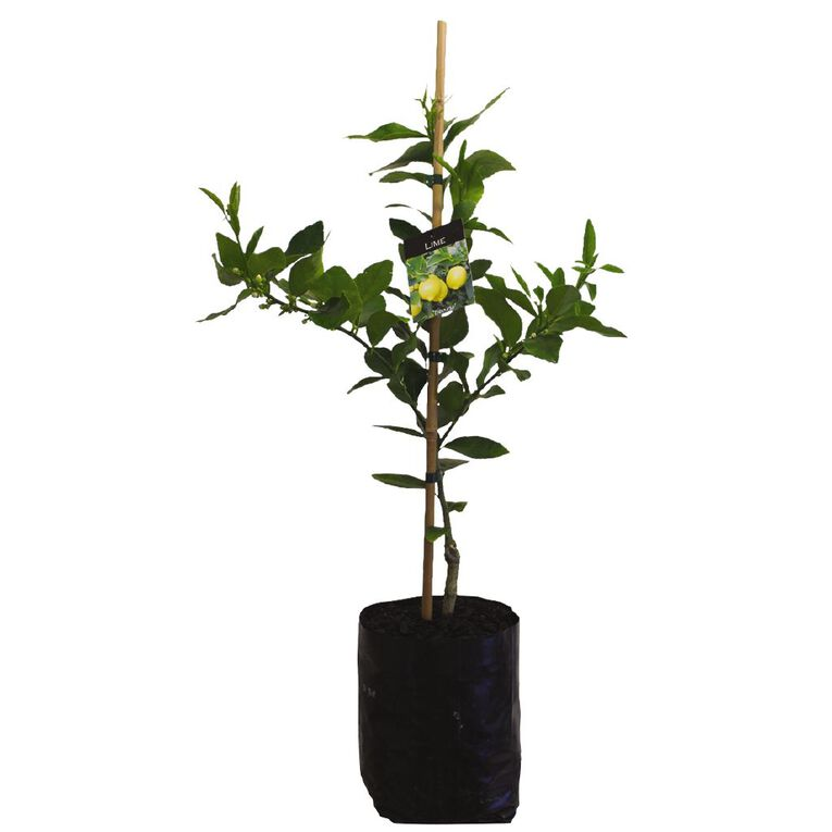 Citrus Lime 4.7L Pot, , hi-res