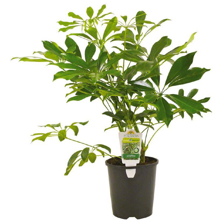 Schefflera 1.5L  Pot, , hi-res