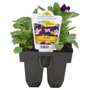 Growflora Viola Blackberry Cream