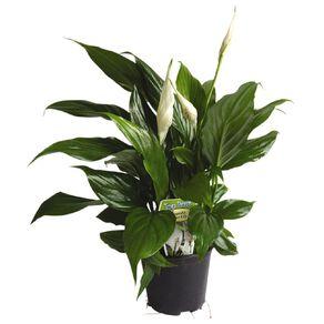Spathiphyllum Cupido (Peace Lily) 10cm Pot