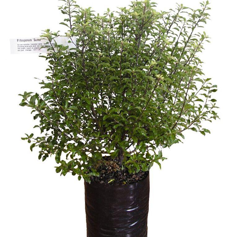 Pittosporum 3.3L Pot, , hi-res