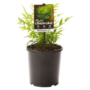 Nandina Magical Lemon & Lime 2.4L Pot