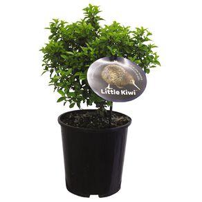 Pittosporum Little Kiwi 2L Pot