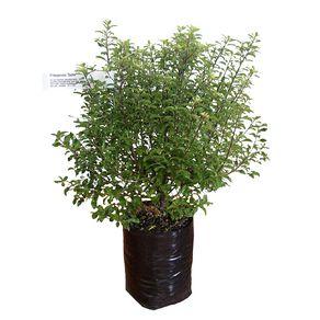 Pittosporum 3.3L Pot