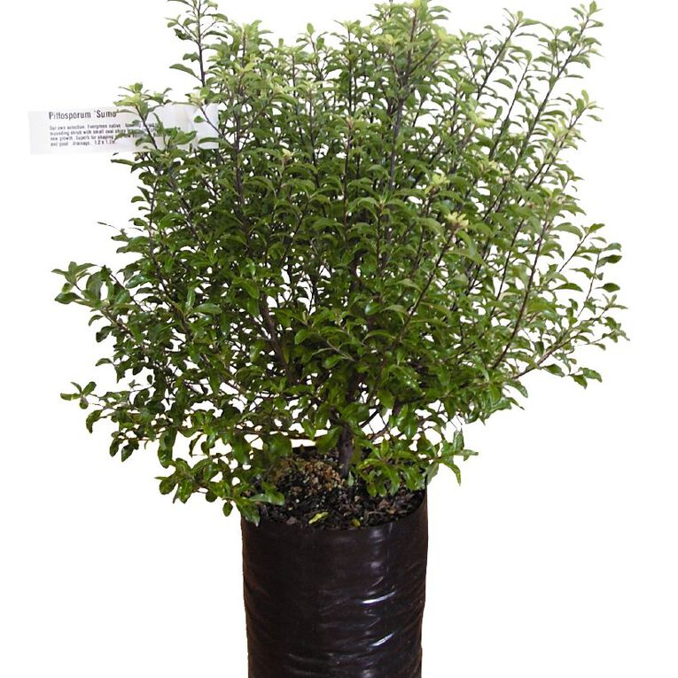 Pittosporum 3.3L Pot, , hi-res
