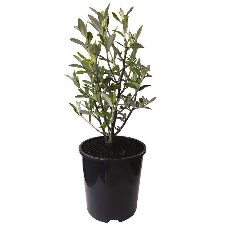 Corokia Geentys Green 1.9L Pot, , hi-res