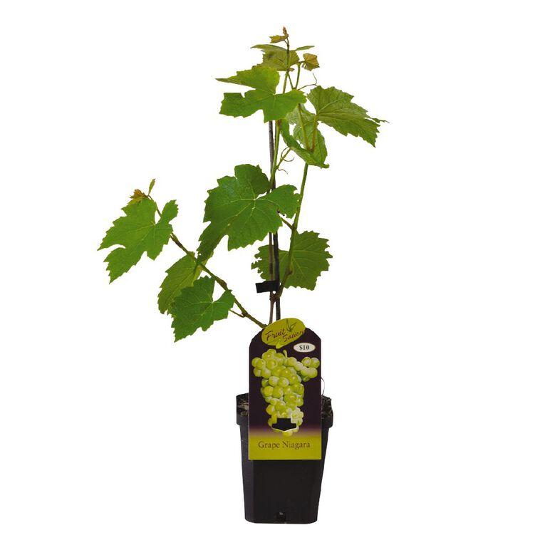 Fruit Sation Grape Niagara 12cm Pot, , hi-res